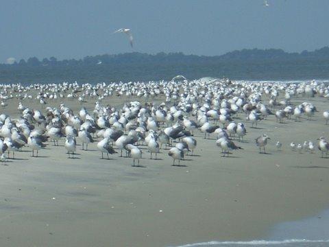 Tybee_beach_birds
