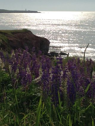 Lupines-NovaScotia_sunset