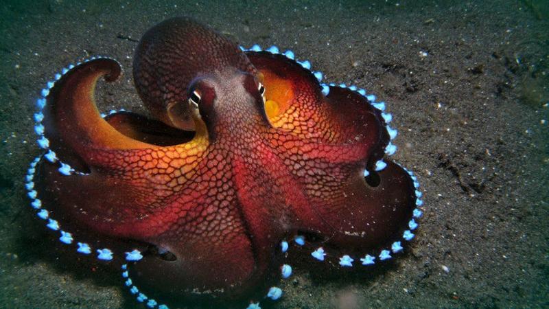 Octopus_image